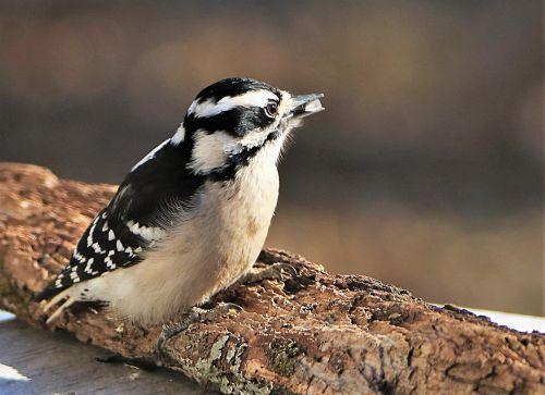 Female Downy Woodpecker Close-up