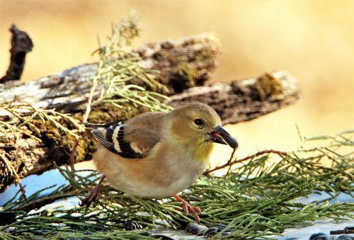 Female Goldfinch Close-up