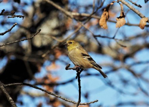 Female Goldfinch In Winter