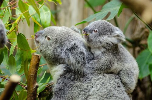 female koala and her baby australian lazy cute