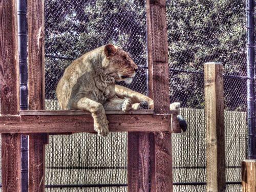 liūtas, liūtys, liūtas, moterys & nbsp, liūtas, laukinė gamta, laukinis & nbsp, gyvenimas, didelis & nbsp, katinas, katė, moteriškas liūtas