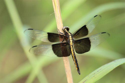 Female Widow Skimmer Dragonfly 2
