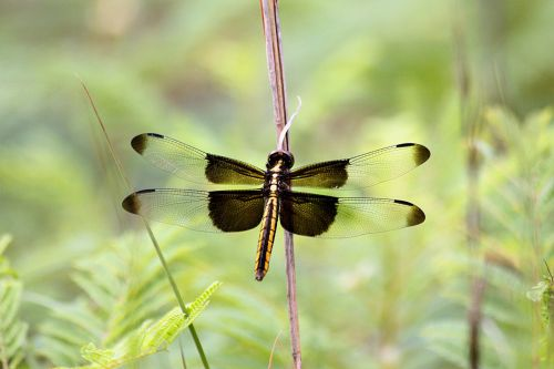 Female Widow Skimmer Dragonfly