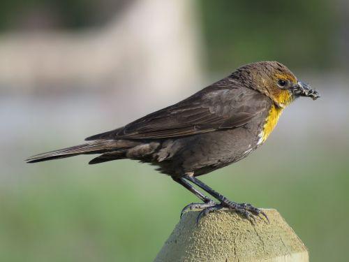 female yellow-breasted blackbird female blackbird blackbird