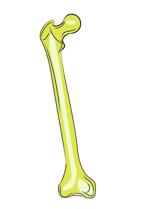 femur bones anatomy