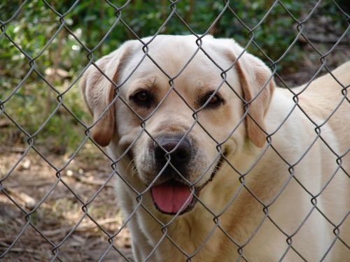 fence dog yellow lab