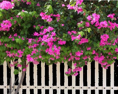 tvora,krūmas,gamta,krūmai,augalas,rožė,medžio tvora,sodas,rožinis