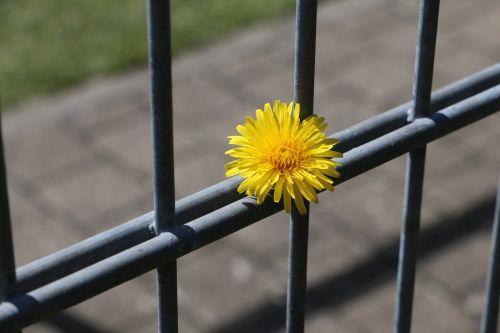 fence dandelion completed