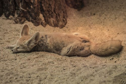 fennec fox zoo chilling