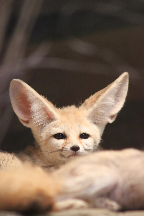 fennec fox  zoo  animal