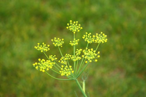 fennel blossom bloom