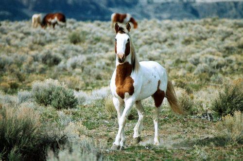 feral horse stallion range