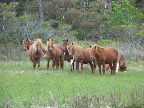 feral horses wild grazing