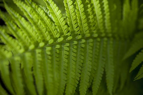 fern,green,forest,leaf,lush,nature,plant,reserve