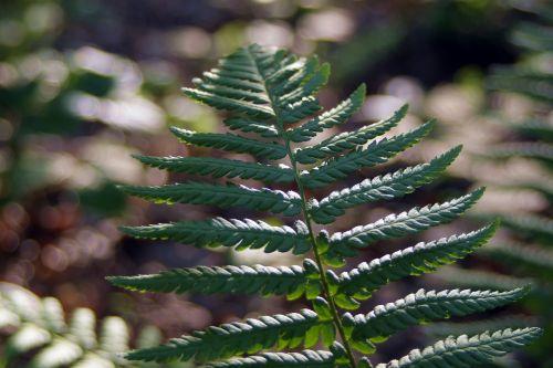 fern undergrowth polypody