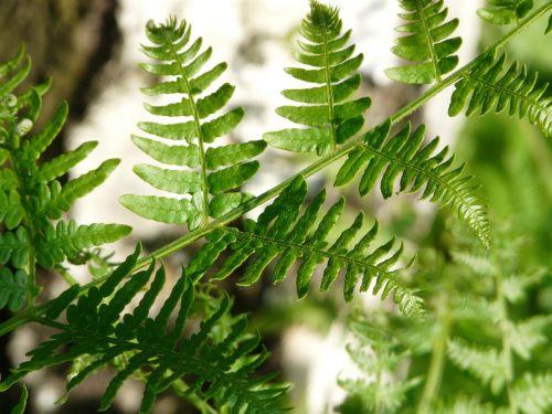 fern bracken leaf detail