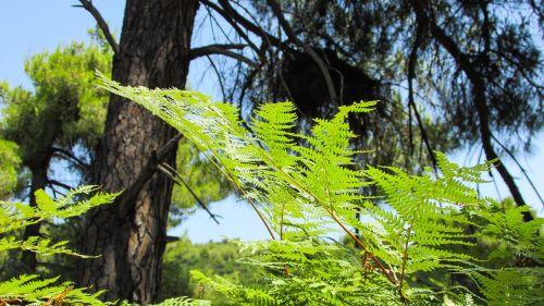 papartis,miškas,gamta,žalias,miškai,laukiniai,flora,lapai,Graikija,slidinėjimas