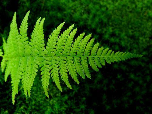 fern bracken green