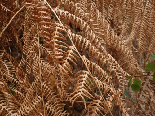 fern dry heat