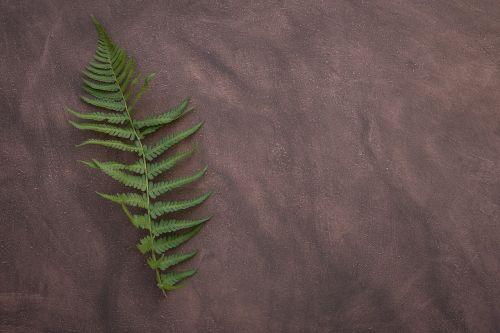 fern leaf fern plant