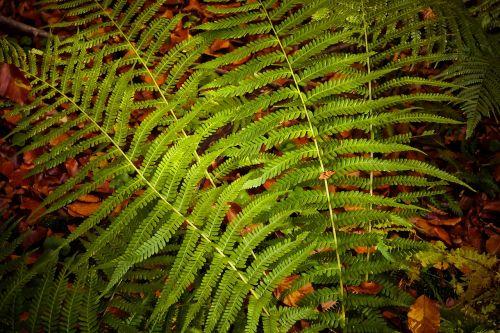 fern plant green