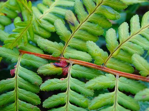 papartis,paparčio lapas,žalias,augalas,gamta,lapai,flora,miško augalas,sodas,struktūra,papartis žalios,paparčio augalas,fiddhead,filigranas,lapų papartis,siela,ruduo,miško paklotė,dekoratyvinis augalas