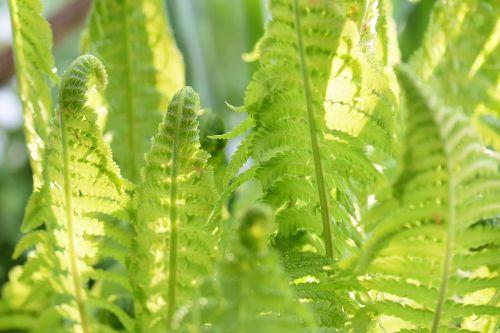 fern plant nature