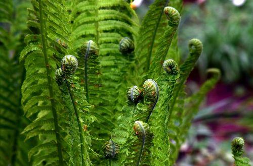 papartis,žalias,augalas,miškas,lapų papartis,gamta,pavasaris,lapai,miško augalas,paparčio augalas,Roll,išvynioti,pabudimas,siela,flora,paparčio lapas,žalia augalas