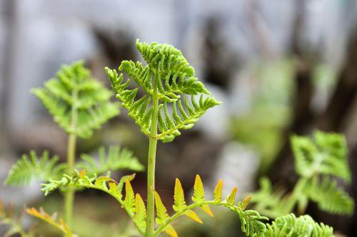papartis,paparčio vairas,augalas,sodas,žalias,dekoratyviniai augalai,paparčio dygsta,žalias lapas,lapai