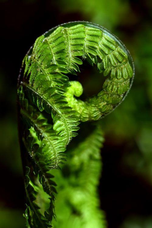 papartis,žalias,Uždaryti,augalas,miškas,gamta,lapai,pavasaris,paparčio augalas,fiddhead,makro,gražus,struktūra,suvyniotos,suvyniojamas paparčio lapas