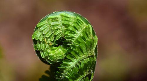 papartis,žalias,augalas,gamta,miškas,lapų papartis,Uždaryti,paparčio augalas,fiddhead,makro,frisch,vaidmuo,rajonas,suvyniojamas paparčio lapas,gražus