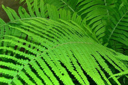 fern leaves greens