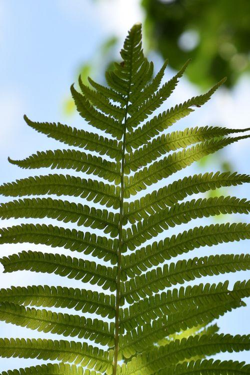 papartis,žalias,augalas,gamta,miškas,Uždaryti,paparčio augalas,lapai,lapai,flora,fiddhead,struktūra,paparčio lapas,atgal šviesa,fonas,sodas,miško augalas