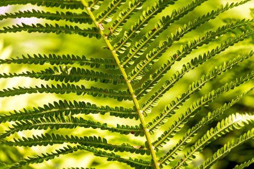 papartis,žalias,paparčio augalas,fiddhead,lapai,žalia augalas,paparčio lapas,struktūra,miško augalas,miškas,saulės šviesa,gamta,Uždaryti