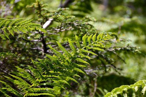 papartis,augalas,gamta,žalias,miškas,paparčio augalas,paparčio lapas,miško augalas,siela,žalia augalas,saulės šviesa,fiddhead,gražus,frisch