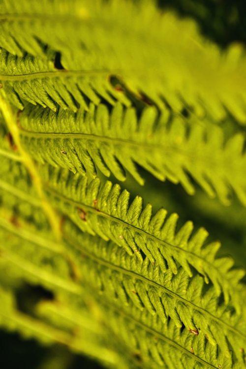 papartis,žalias,augalas,gamta,Uždaryti,paparčio augalas,lapai,lapų papartis,žalia augalas,paparčio lapas,miško augalas,vasara