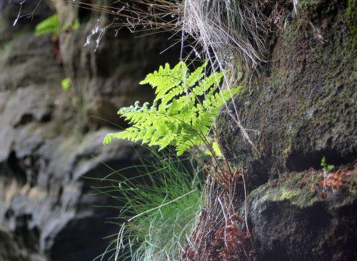 papartis,papartis žalios,žalias,Rokas,akmuo,žygiai,drėgnas,kalnas,gamta,akmenys,miškas,šviesa,lapai,Uždaryti,lapų papartis,augalas,paparčio augalas,makro,flora,miško augalas,fiddhead,žalias lapas,paparčio lapas,vasara,frisch