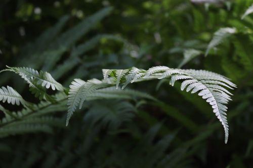 papartis,paparčio lapas,žalias,augalas,gamta,miškas,paparčio augalas,fiddhead,miško augalas,lapų papartis,lapai,žalia augalas,nuotaika,šviesa