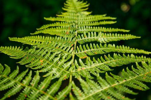 papartis,žalias,miškas,gamta,Uždaryti,augalas,paparčio augalas,išsamiai,paparčio lapas,lapai,flora
