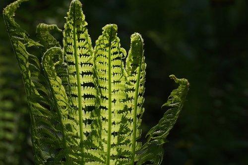 fern  fiddlehead  vessel sporenpflanze
