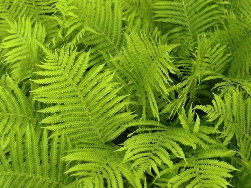 fern fern leaves fern plants