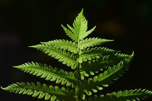 fern  fern leaf  green