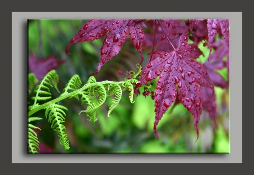 fern maple rain