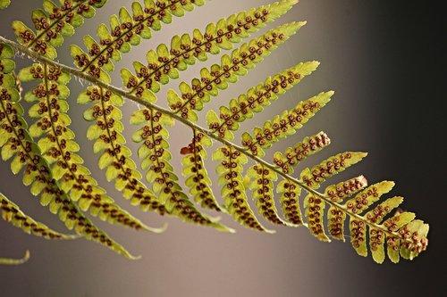 fern  fern leaf  sporangia