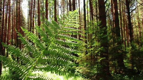 fern  forest  tree