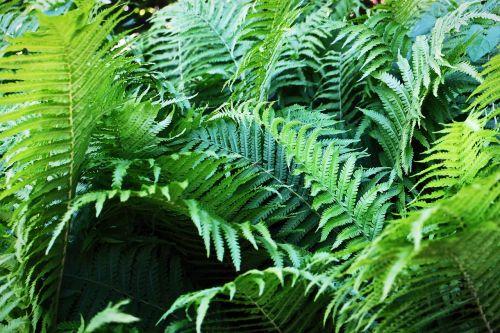 fern fiddlehead fern plant