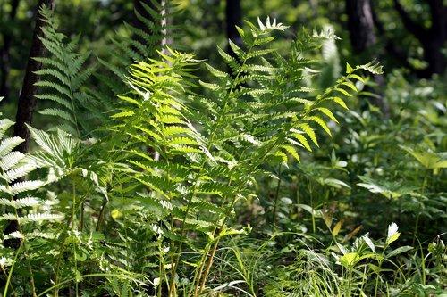 fern  grass  forest