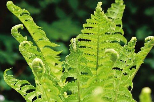 fern  fern leaves  fern plant