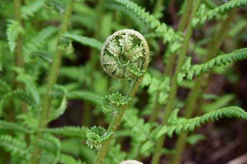 fern  seedling fern  plant of the undergrowth
