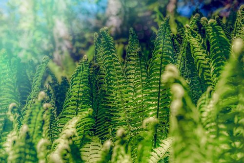 fern  forest  nature